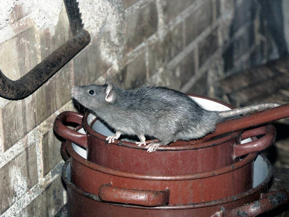 rat on cooking pot