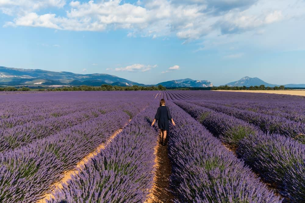 blooming lavender