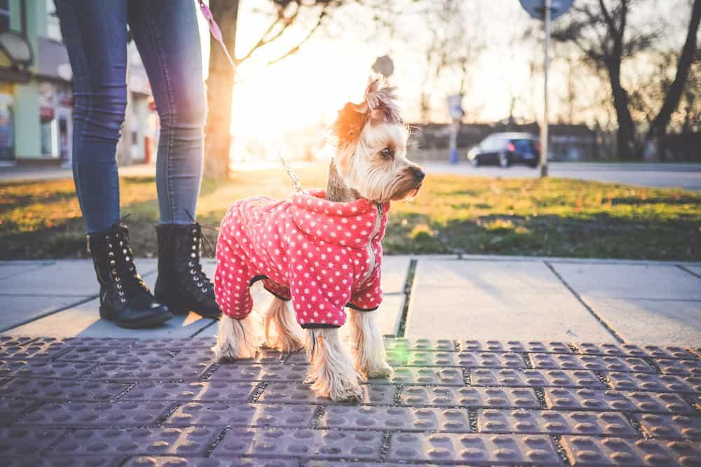 Cute Yorkshire Terrier with Clothes