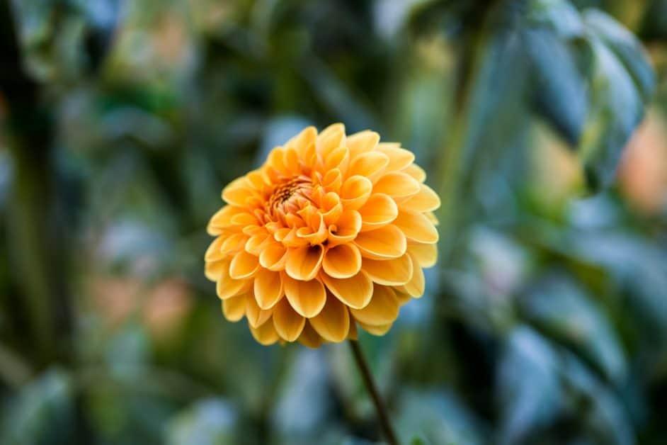 Chrysanthème flowers
