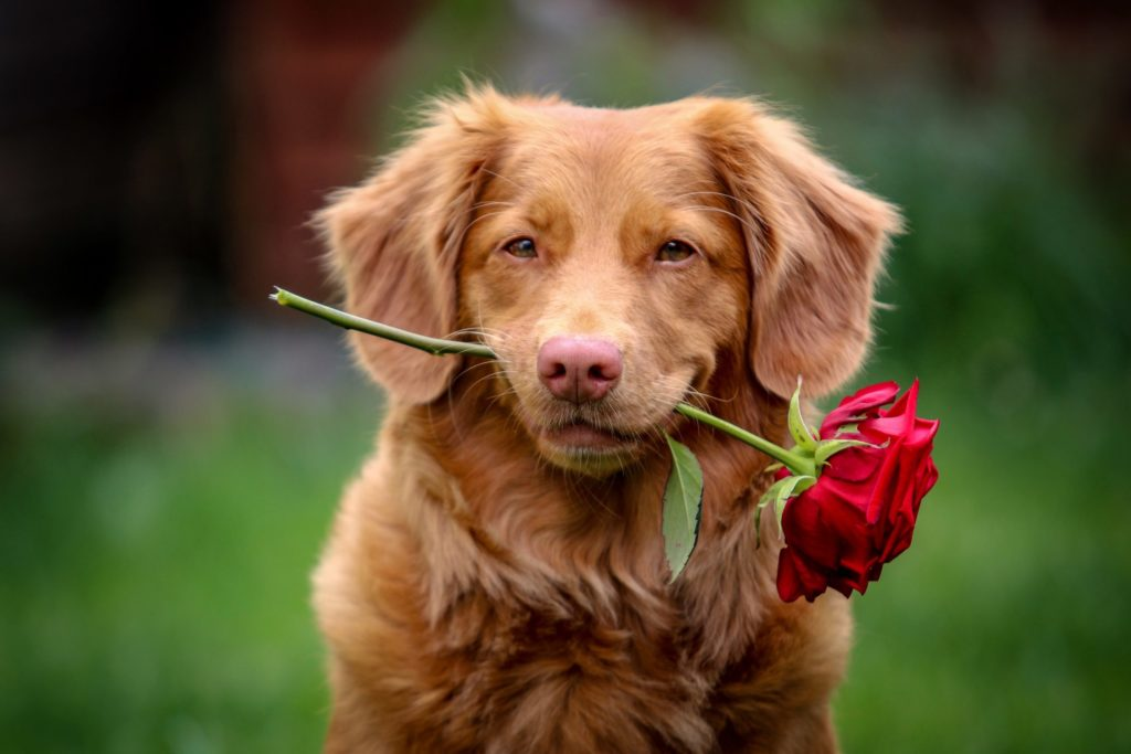A brown dog holds a red rose in its mouth.