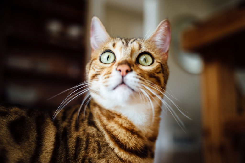 A striped cat stares at the camera in wide-eyed surprise.
