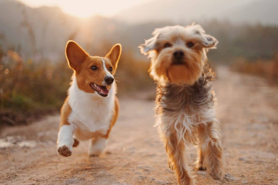 Two dogs run down a dirt path. One is a corgy and the other looks like a small mixed breed with medium-long fur. As dogs usually do when they're running, they look happy.