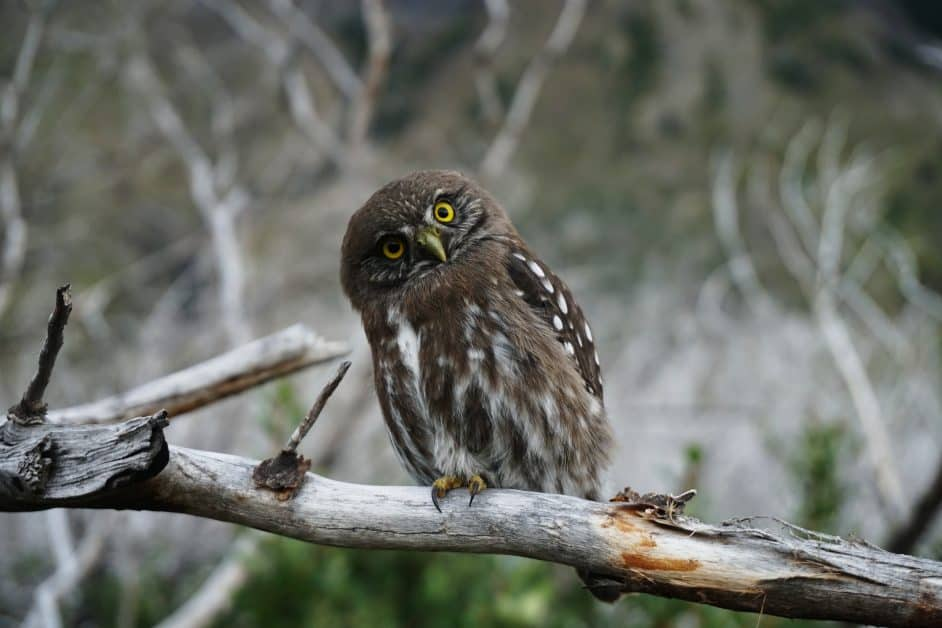 An owl sits on a branch in a forest and cocks his head towards the viewer, looking like the very definition of curiosity.