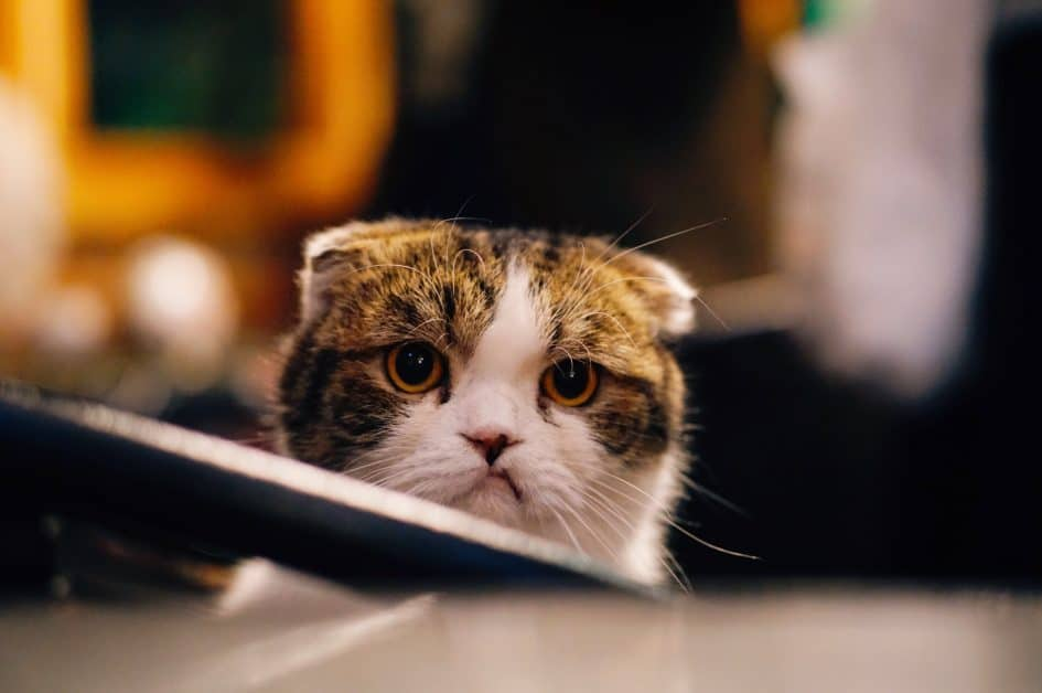 A brown and white Scottish fold cat gives the viewer a disapproving look.