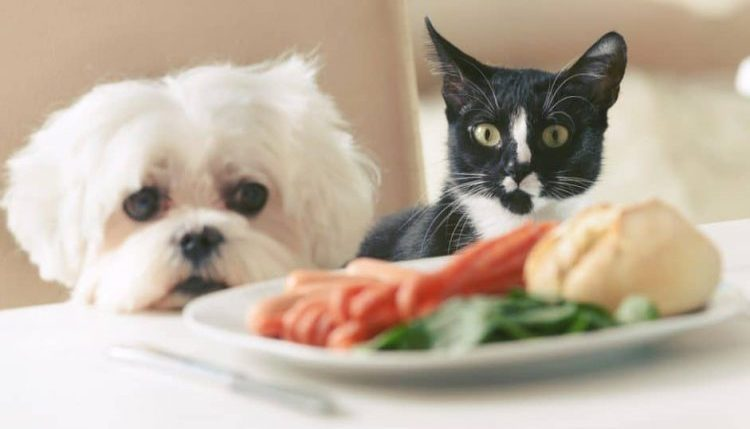 A white dog and a black and white cat stare longingly at a plate of food on the table in front of them. They are sitting on a chair in the background.
