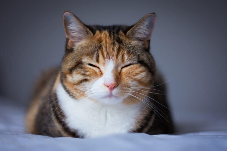 A brown and orange cat with a white chest closes his eyes in contentment. He looks like he's sitting on a bed.