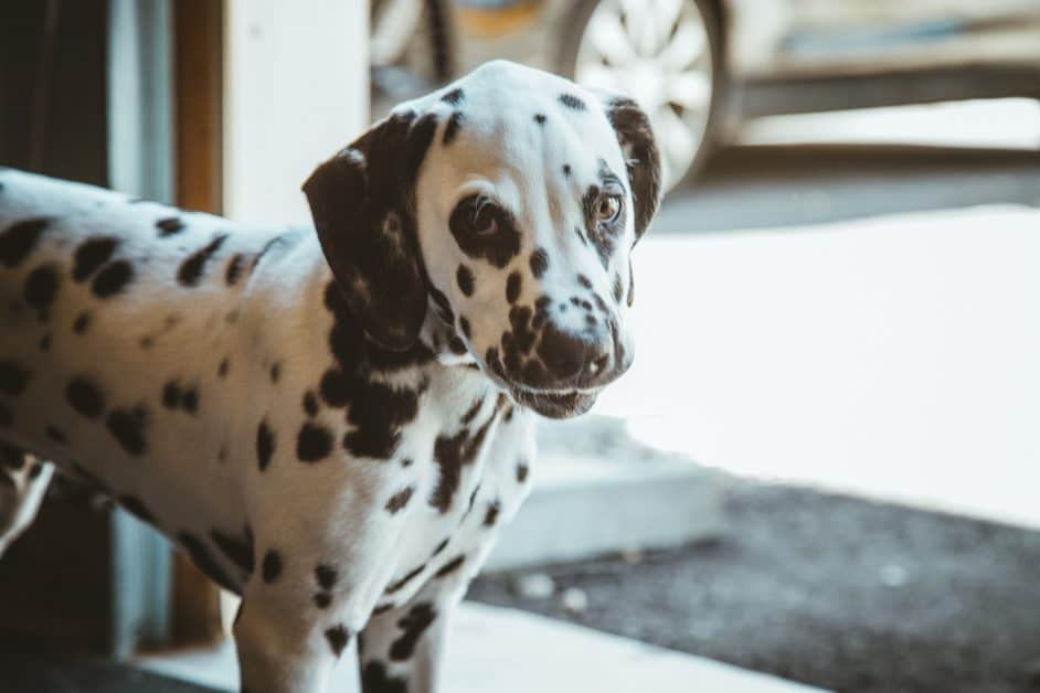 A dalmation puppy looks at the camera. He seems to be in a garage of a home. There is a car in the driveway in the background.