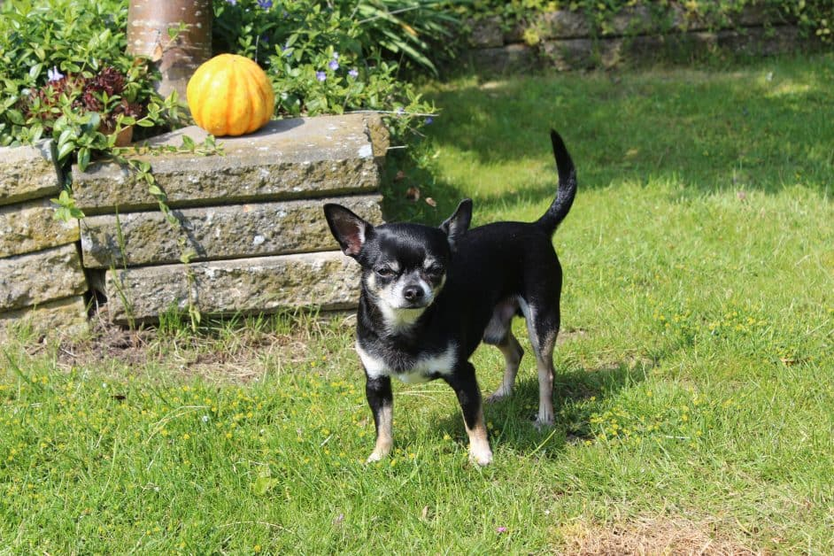 A black chihuahua with white markings near its legs and on its muzzle stands in a backyard and stares at the viewer. It may be trying to make an intimidating squint, or maybe it just has the sun in its eyes.