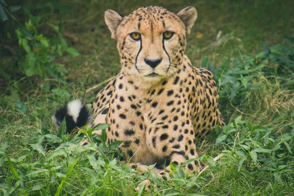 A cheetah sitting in the grass looks in what might be surprise at the photographer.