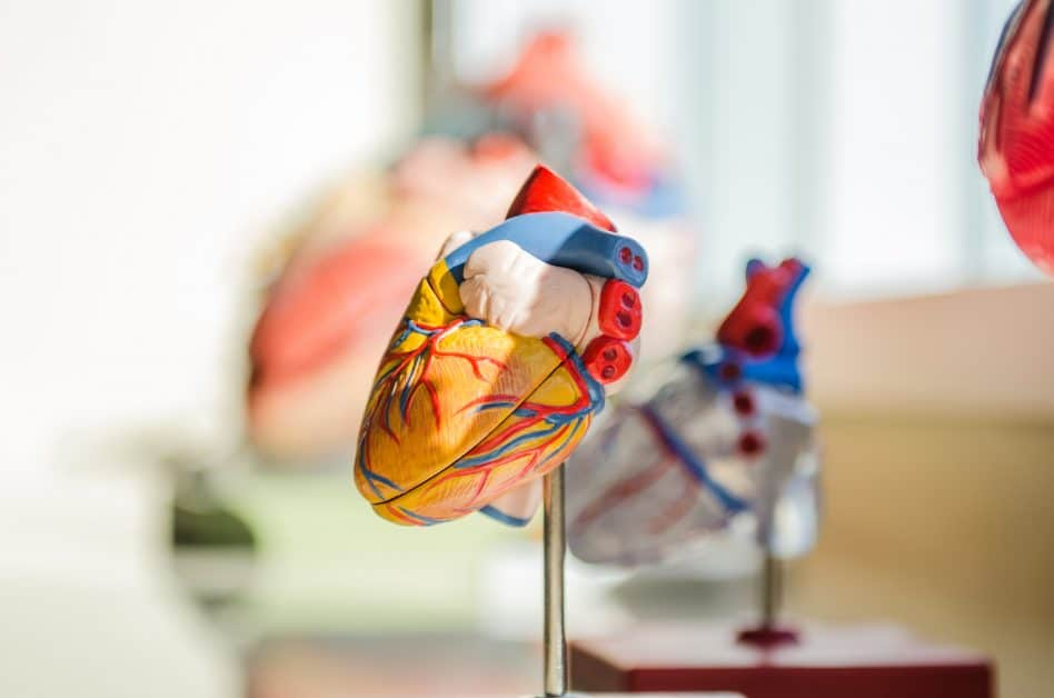An anatomical model of a heart is positiioned on a metal display pole. The various parts are in different colors. Around it and in the background are other anatomical models of organs on display, but we can't easily make them out.