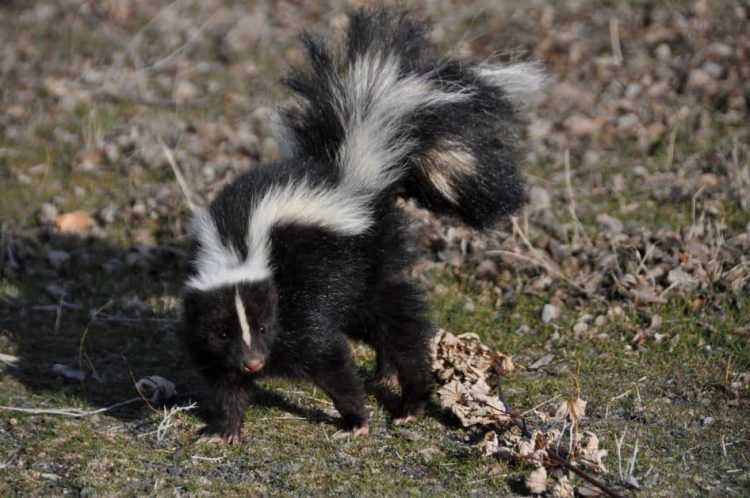 A striped skunk with an undeniably adorable pink nose looks offended or spooked by something. He is outside, standing on grass and leaves, but the image is a close-up.