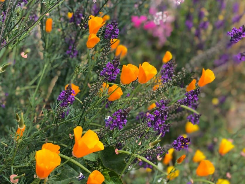 orangey-yellow tulips and stalks of lavendar are seen close-up. They look like they are growing wild in a meadow or field of flowers.