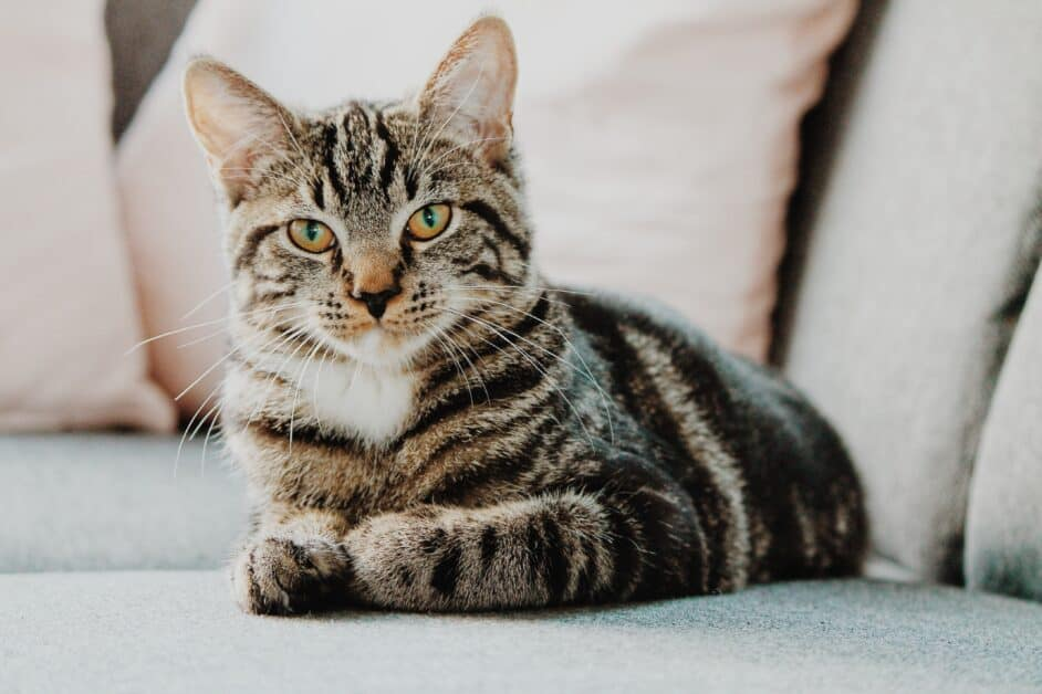 A brown tabby cat with a dark brown nose sits on a sofa with one front paw slightly out and the other curled under him. He fixes the camera with what seems to be a serious expression on his cute little face