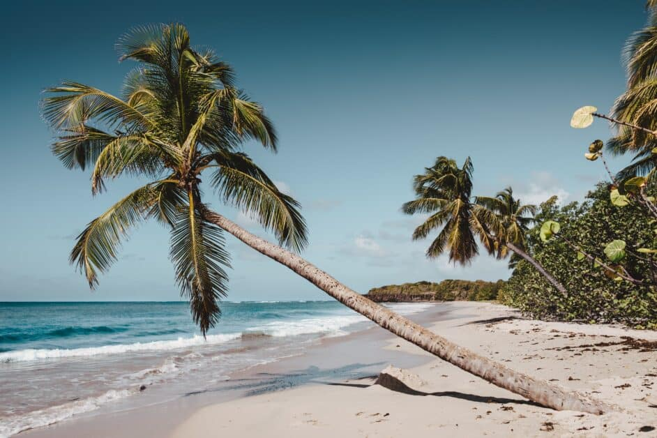 On a sandy beach, palm trees lean towards the blue ocean. Most of the palm trees are part of groves of vegetation, which we can see extending down the coastline, but the large palm tree in the foreground stands alone in the sand, reaching towards the water that arrives nearly to its low leaning trunk.