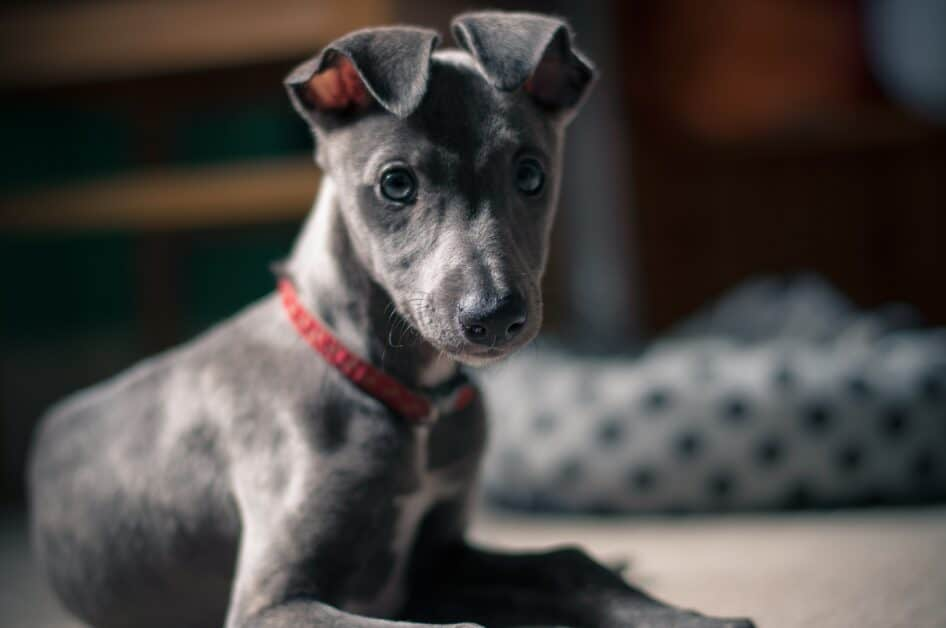 A cute gray puppy with a few white markings looks at the camera. He has blue-gray eyes and a long snout with a black nose at the end. He wears a red collar and is in an interior. In the blurry background is what might be a dog bed. His folded ears give him a lot of charm.