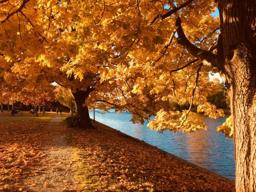 A tree's branches sprawl over a dirt walking path and a river. The tree's fall leaves are bright orange.