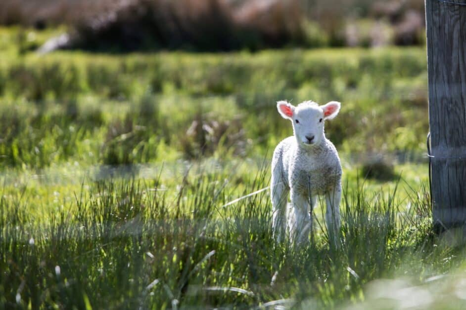 A lamb looks at the camera. He or she is standing in a field of long green grass, beside what seems to be a wooden doorframe of a barn.