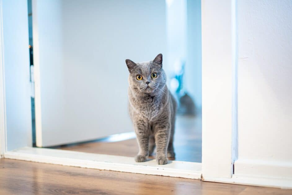 A gray cat stands in a white doorway and stares at the viewer.