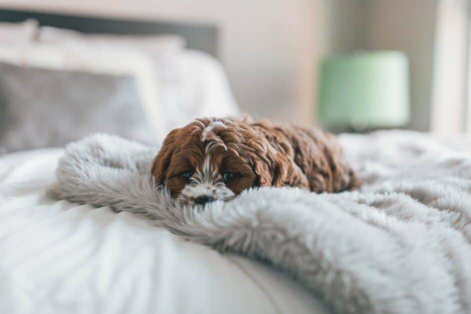 A little brown and white puppy lies comfortably on a furry blanket on a bed.